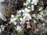 Sand cherry is a shrubby relative of cherry trees that produces cherrylike fruits after beautiful spring blooms