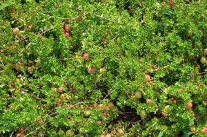 Cranberry groundcover Photo courtesy Susan Maslowski