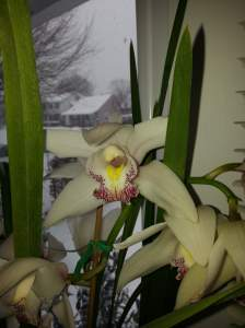 A cymbidium orchid is a recent acquisition to my collection.