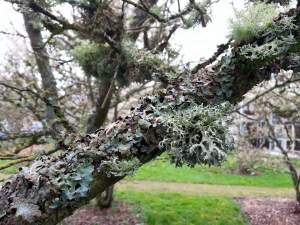 A lichen covered tree in Seattle.