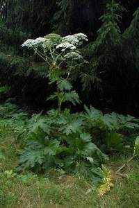 The giant hogweed in its full-grown glory. It can easily be confused for several other plants.