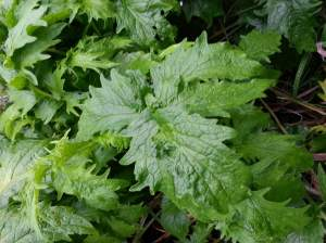 The mystery plant - hogweed or not? I'll be visiting again in a few weeks to positively ID and eradicate it.
