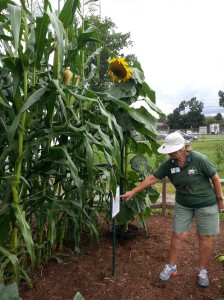 MG Viva shows off the Bloody Butcher heirloom corn growing in the demonstration garden at the state fair.